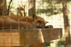 Red Fox. A red fox sleeping in his enclosure at a rehabilitation center Royalty Free Stock Photo