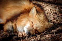 Red Fox Sleeping in the Sun Royalty Free Stock Photo