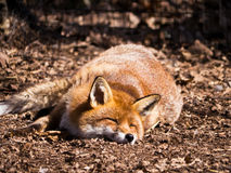Red Fox sleeping Stock Photos