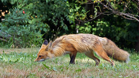 Red fox smells the ground Stock Photography