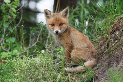 Red fox smile Stock Photos