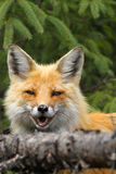 Red Fox Smiling. A red fox peers over a fallen birch tree in Algonquin Provincial Park, Ontario, Canada Royalty Free Stock Photo