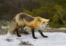 Red Fox Snarling Stock Images
