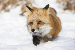 Red fox sneaking through the snow Stock Photography
