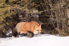 Red fox sneaking through trees Royalty Free Stock Image