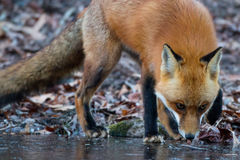 Red Fox Sniff Royalty Free Stock Image