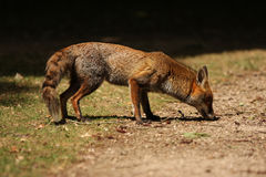 Red Fox Sniffing. Full body shot of a red fox with a natural looking background. This is a wild urban fox sniffing the ground in a London Park Stock Image
