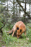Red Fox. Stock Images