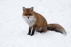 Red fox in sno Royalty Free Stock Image