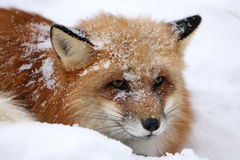 Red Fox in Snow. A Red Fox in a snow storm in the Rockey Mountians Royalty Free Stock Images