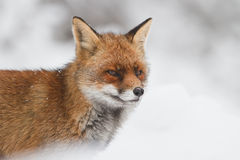 Red fox in the snow. A red fox posing in the snow Royalty Free Stock Images