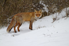 Red fox in the snow Stock Photo