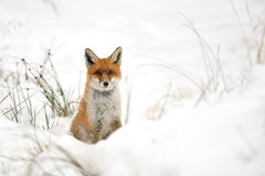 Red fox in the snow. Red fox in the winter on snowy ground Royalty Free Stock Image