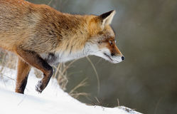 Red Fox in the snow. Red fox walks in a snowy landscape Stock Photos