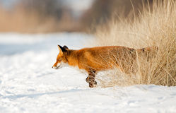 Red Fox in the snow Royalty Free Stock Images