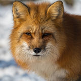 Red Fox. In the snow Royalty Free Stock Images