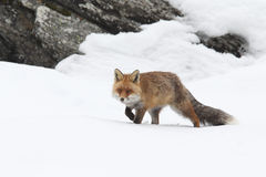 Red fox. Into the snow Stock Image