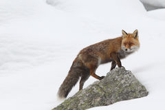 Red fox. Into the snow stock photo