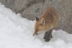 Red fox Stock Photos