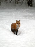 Red fox in snow Royalty Free Stock Image