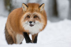 Red Fox in Snow Royalty Free Stock Images