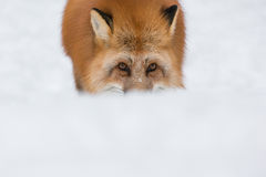 Red Fox in Snow Royalty Free Stock Photography