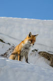 Red fox in the snow Royalty Free Stock Image