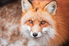 Red fox in snow. Japanese red fox relaxing in winter`s snow of January Stock Image