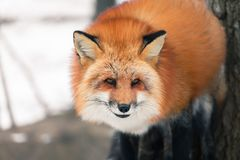 Red fox in snow. Japanese red fox relaxing in winter`s snow of January Royalty Free Stock Photo
