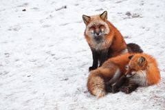 Red fox in snow. Japanese red fox relaxing in winter`s snow of January Stock Photo