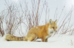 Red fox. A red fox in the snow listening for a meal in yellowstone park royalty free stock images