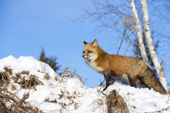 Red fox on snow mound. Red fox standing in snow Royalty Free Stock Image