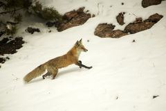 Red Fox in the Snow. A red fox running in the mountain snow of Colorado Stock Image
