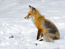 Red Fox in Snow Stock Image