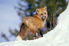 Red Fox in snow. Red Fox standing in snow, watching Stock Images