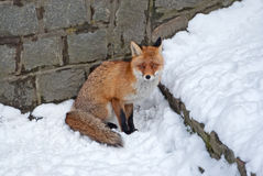 Red fox on the snow Royalty Free Stock Image