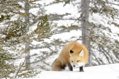 Red Fox in snow Stock Photos