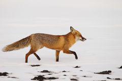Red fox in the snow. Red fox walking in the snow during winter Royalty Free Stock Image