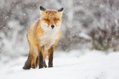 Red fox in the snow stock images