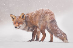 Red fox. A red fox in a snowstorm Stock Image