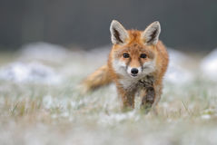 Red Fox. In the snowy field Stock Image
