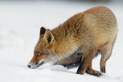 Red fox in the snowy landscape Stock Photo