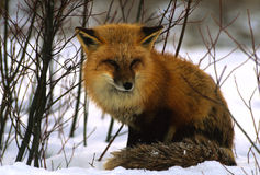 Red Fox in Snowy Willows. A red fox sitting in some willows in winter Stock Photos
