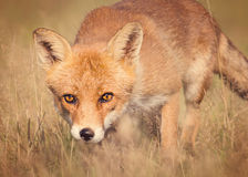 Red fox. Soft stylized image of a European Red Fox ( Vulpes vulpes royalty free stock images