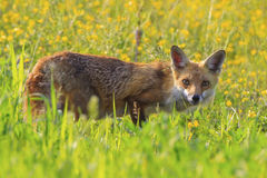 Red Fox. In a spring meadow Stock Photos