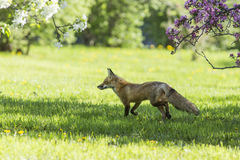 Red fox in spring Stock Photos