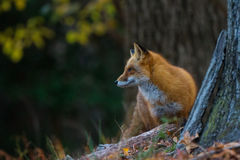 Red fox stalking Stock Images
