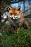 Stalking Fox. Red fox stalking through grass Stock Images
