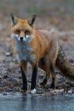 Red fox stalking Stock Image