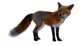 Red fox standing - 3D render. Red fox standing isolated in white background - 3D render Stock Images
